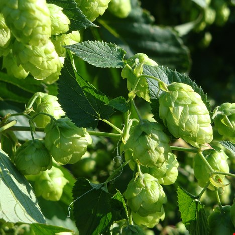Experiencing Hops – the Green Gold!